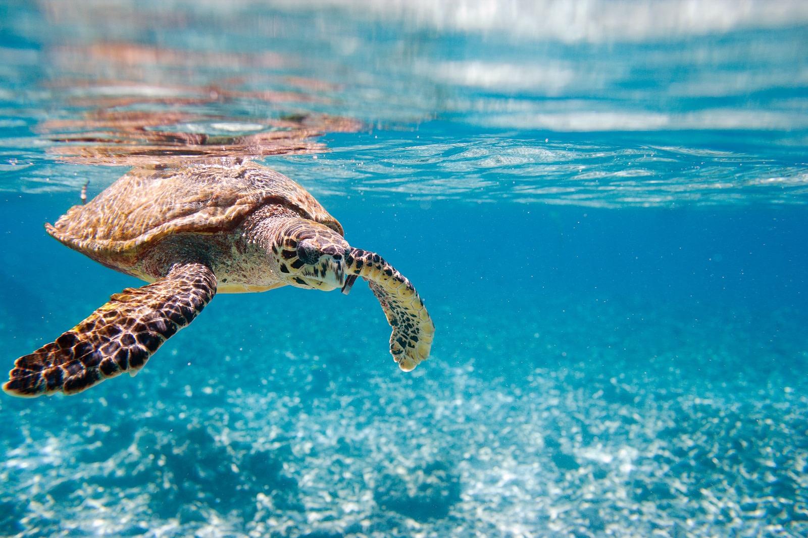 Sea Turtle in Seychelles